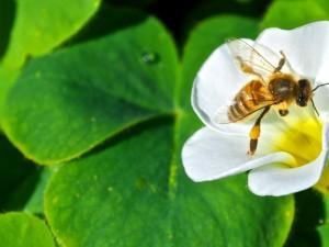 Threats to the Australian Honey Bee