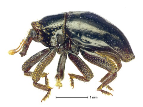 chewbacca beetle