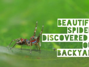 Beautiful spiders discovered in our own backyard