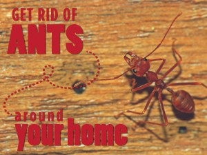 Get Rid of Ants Around Your Home