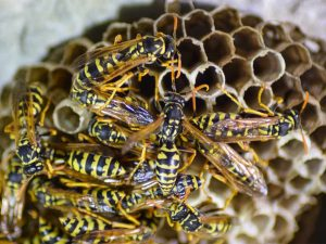 The weirdly aggressive behaviour of wasps