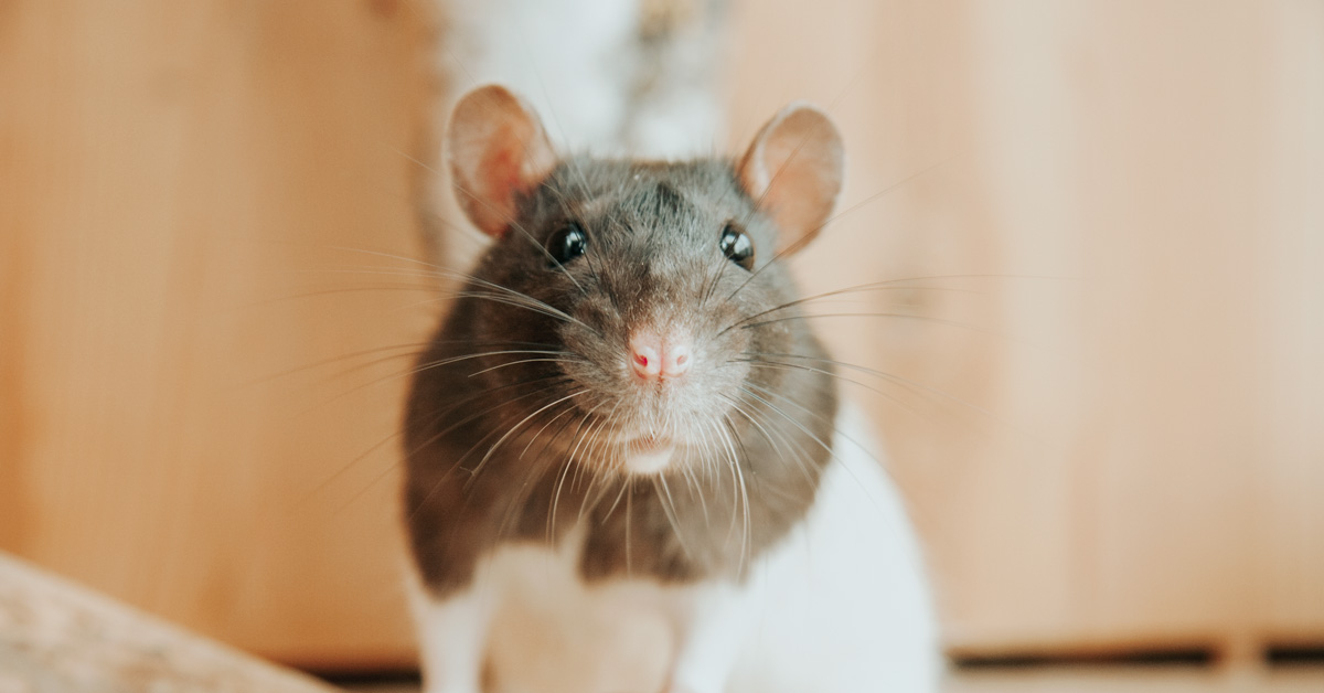 austates rats-and-mice-winter